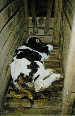 a dead veal calf